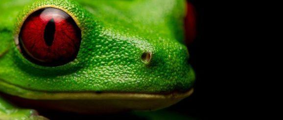 Древесная красноглазая лягушка