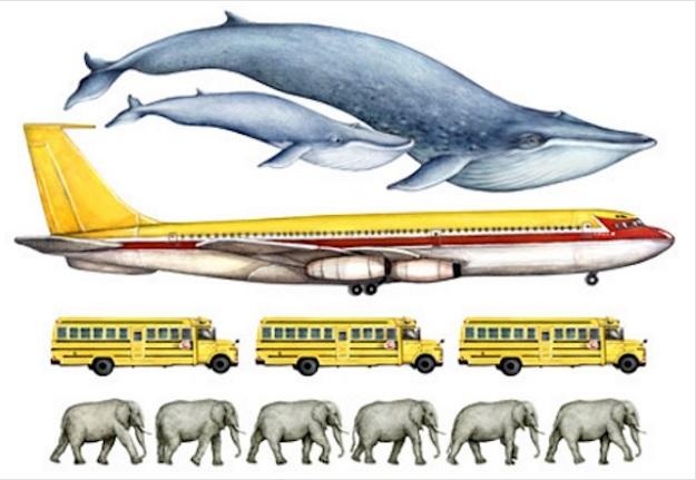 Размер синего кита