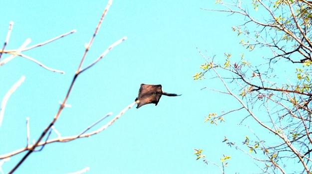 Южный летяга парящая между деревьев