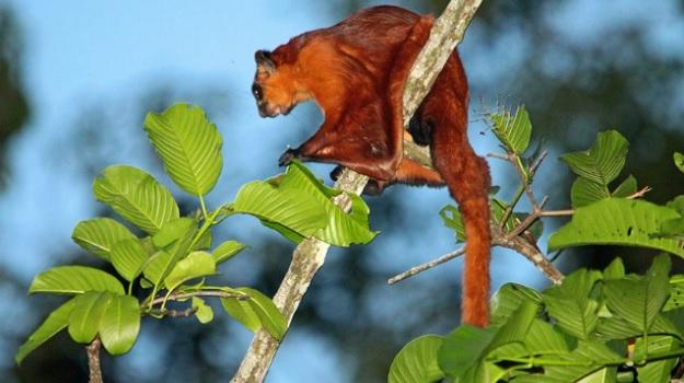 Гигантский рыжий летяга на ветке в Малайзии.