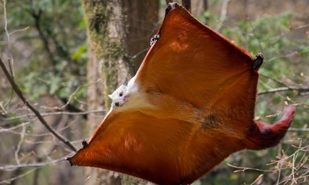 Дневной полет бело-рыжей гигантской летяги