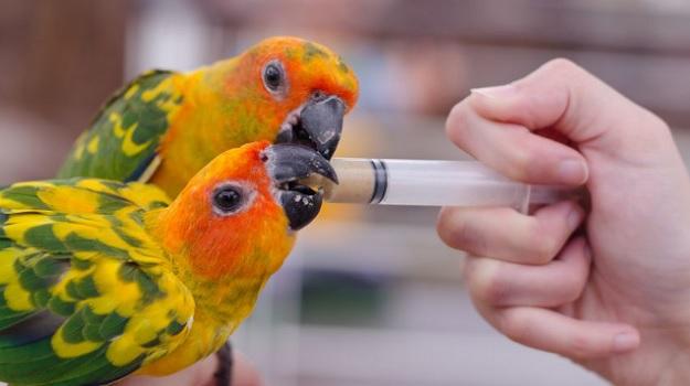 Здоровый попугай