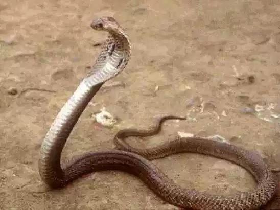 Филиппинская кобра