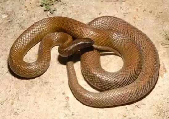 Жестокая змея или внутриматериковый тайпан