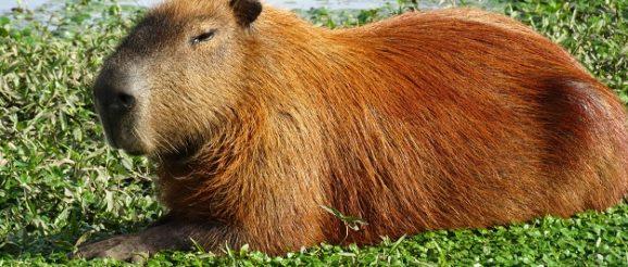 Капибара - грызун необычного размера