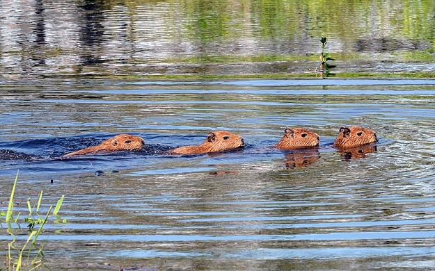 Капибары в воде