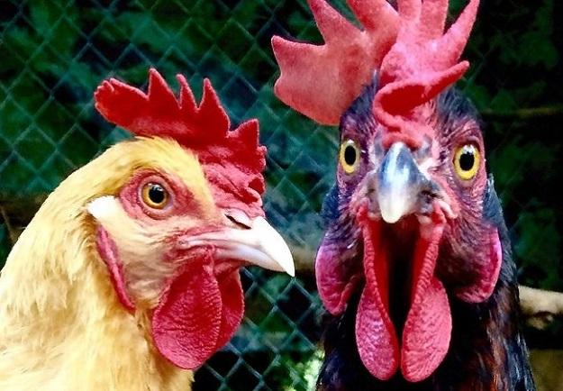 Более 2200 цыплят будут переданы пастухам в Синьцзяне, чтобы помочь бороться с вредителями.