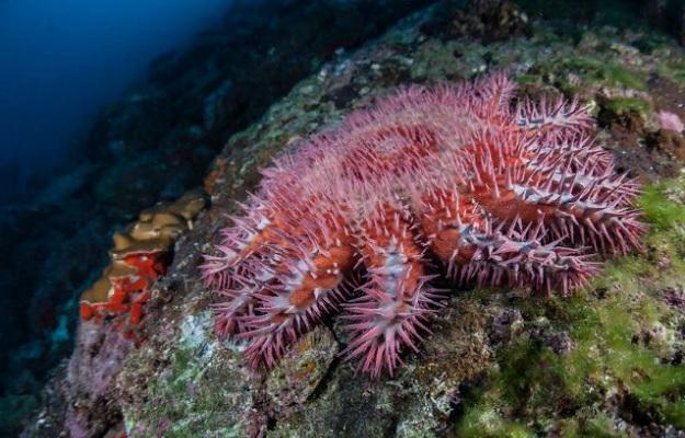 Морская звезда (терновый венец)