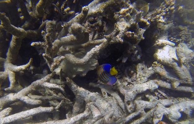 обесцвечивание кораллов