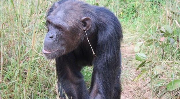 Шимпанзе с травинкой в ухе