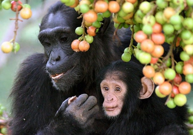 Инжир составляет большую часть диеты шимпанзе.