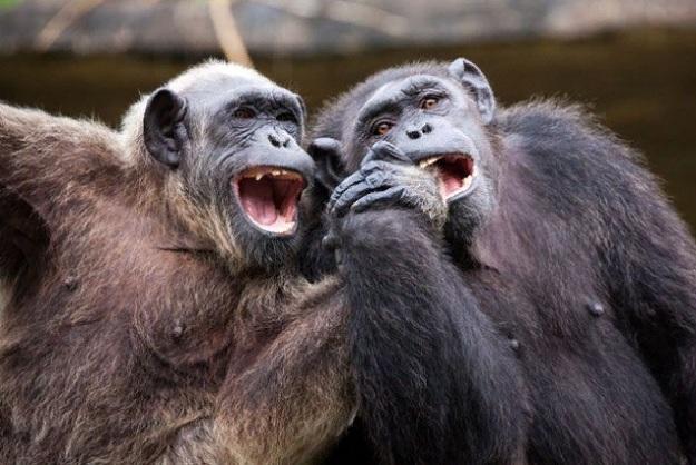 Шимпанзе имеют похожие личности, независимо от того, растут они в неволе или в дикой природе.