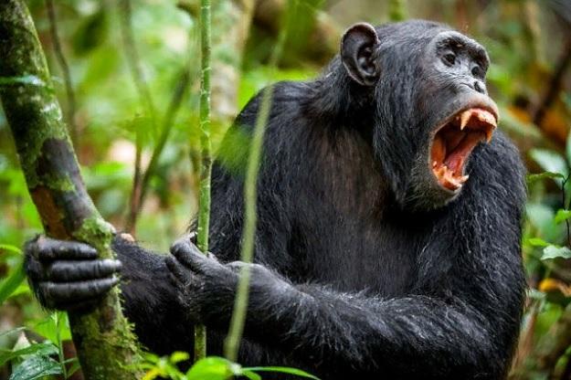 Шимпанзе будут более агрессивно кричать, чтобы предупредить сородичей об опасности.