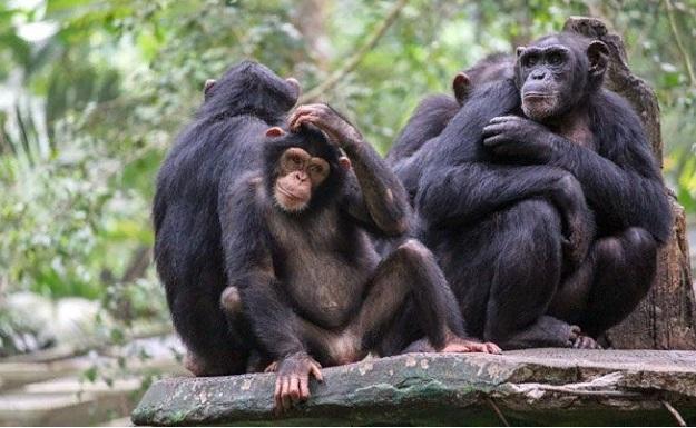 Мы всегда узнаем что-то новое о шимпанзе, от группового поведения до того, что они простудились.