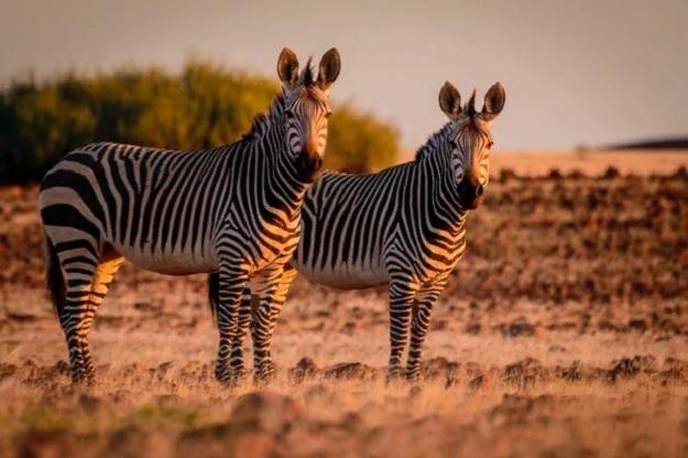 Горные зебры