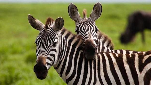 Зебры - это гораздо больше, чем лошади с полосками.