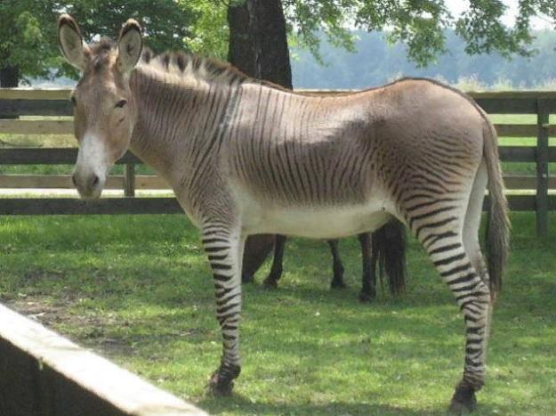 Гибрид зебры и мула