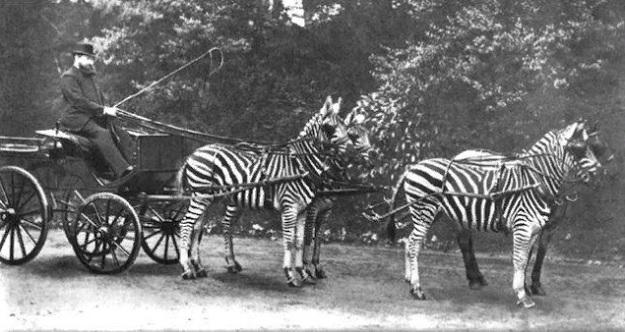 Зебры запряженные в карету