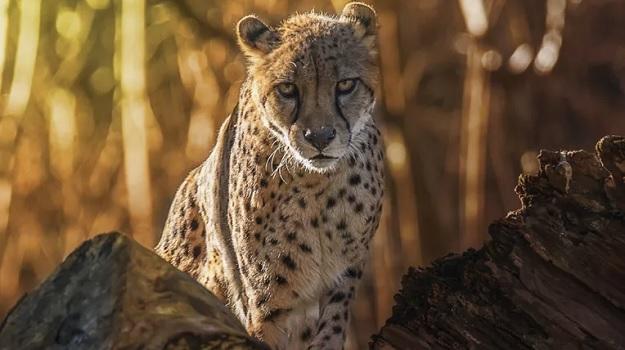 Самый быстрый сухопутный млекопитающий в мире - гепард.
