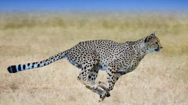 Быстрый гепард