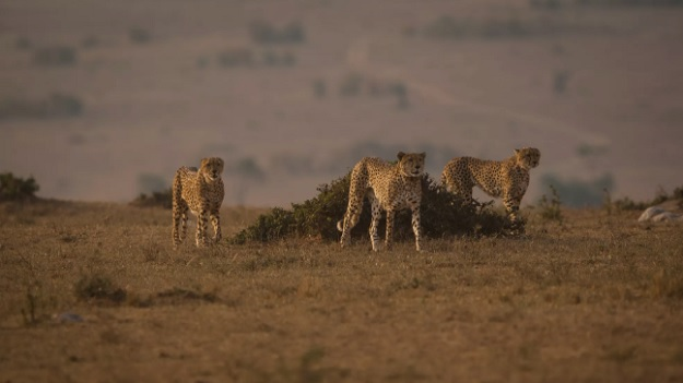 Коалиция гепардов