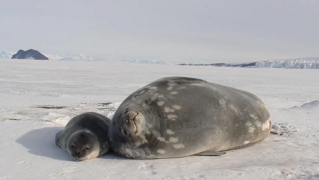 Мать и детеныш тюленя